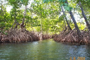 Mangrove swamp, northbiomes.weebly.com